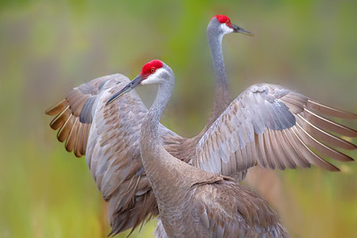 Sandhill Cranes before sunset