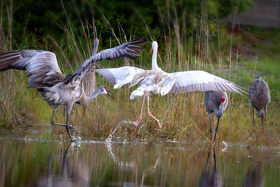Leucistic Sandhill Crane being chased - Central Florida