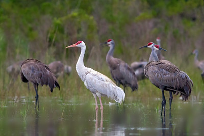 Leucistic Sandhill Crane ready to roost with others - Central Florida
