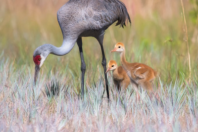 Sandhill Crane with young foraging behind my house