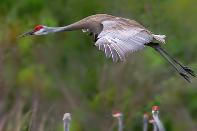 Sandhill Crane flying in to join the roosting cranes