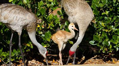 (SC25) Sandhill Cranes