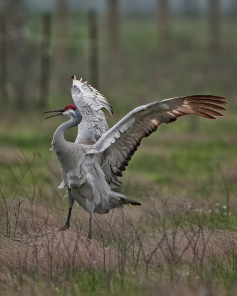 Sandhill with Wing Spread.jpg