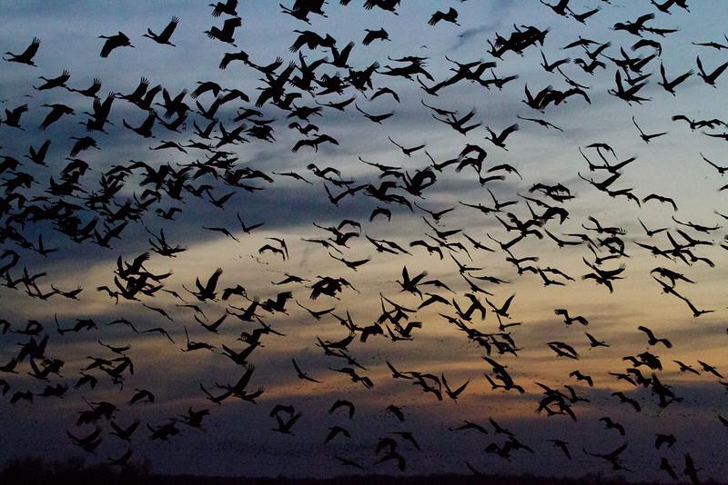 Nebraska cranes 4 (2013)
