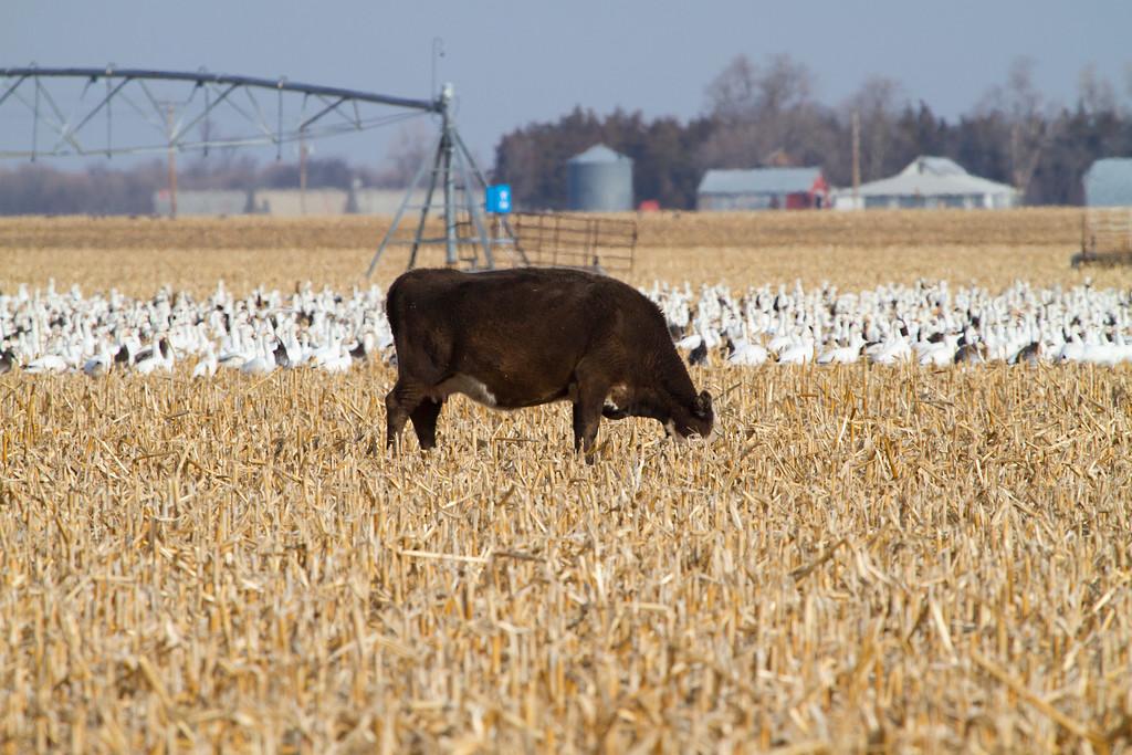 Nebraska cranes 6 (2013)