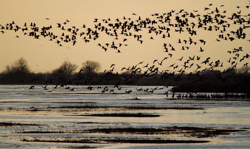 Nebraska cranes 3 (2013)