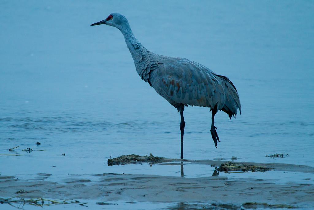 Nebraska cranes 25 (2013)