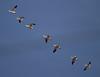 Nebraska cranes 16 (2013)