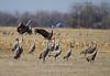 Nebraska cranes 8 (2013)