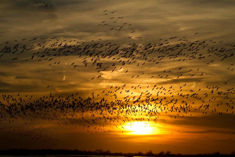 Nebraska cranes 13 (2013)