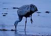 Nebraska cranes 23 (2013)