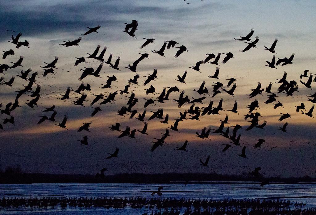 Nebraska cranes 20 (2013)