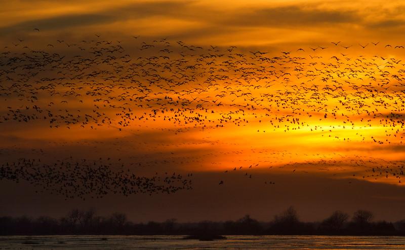 Nebraska cranes 9 (2013)