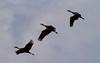 Nebraska cranes 2 (2013)