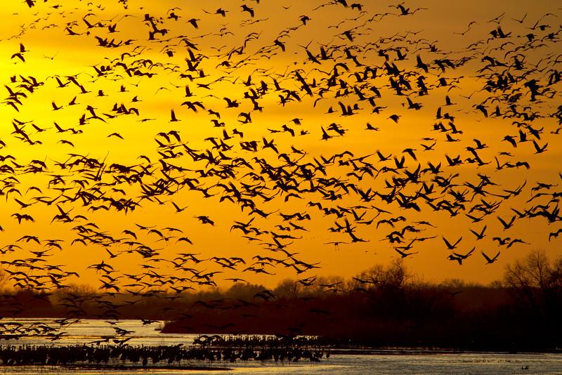 Nebraska cranes 15 (2013)