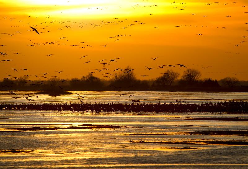 Nebraska cranes 11 (2013)