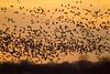 Nebraska cranes 14 (2013)
