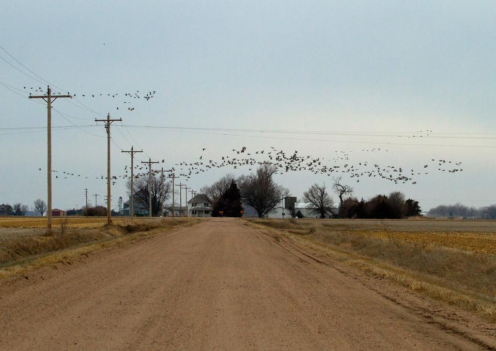 Nebraska cranes 17 (2013)