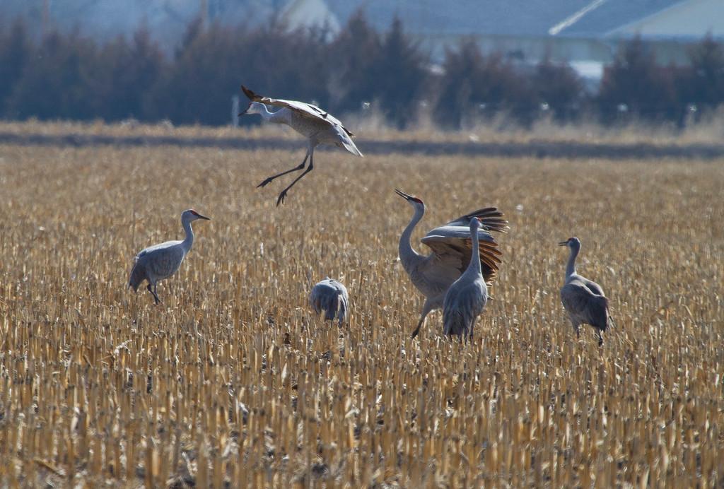 Nebraska cranes 7 (2013)