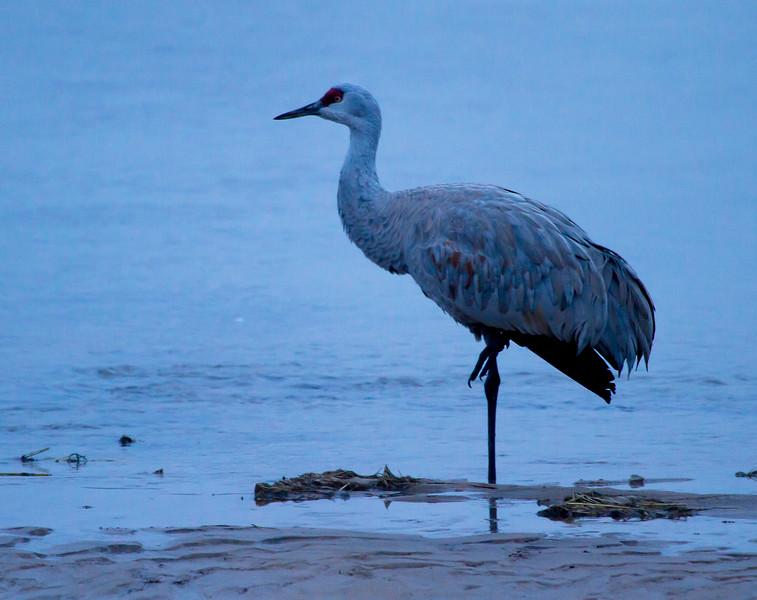 Nebraska cranes 24 (2013)