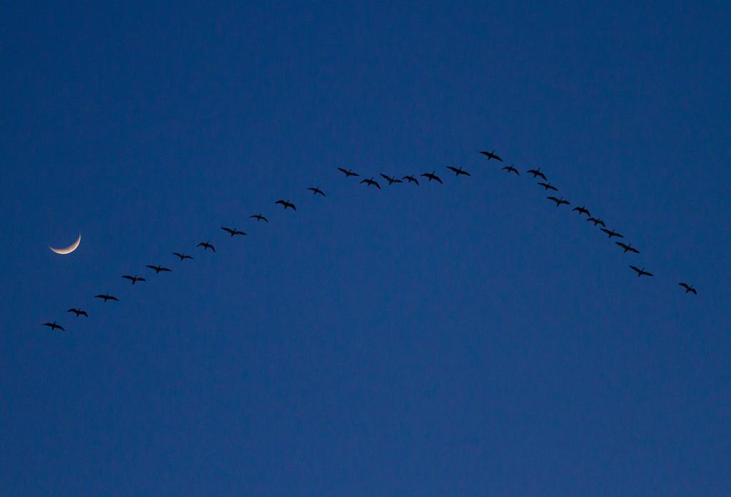 Nebraska cranes 18 (2013)