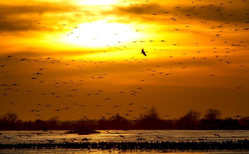 Nebraska cranes 12 (2013)