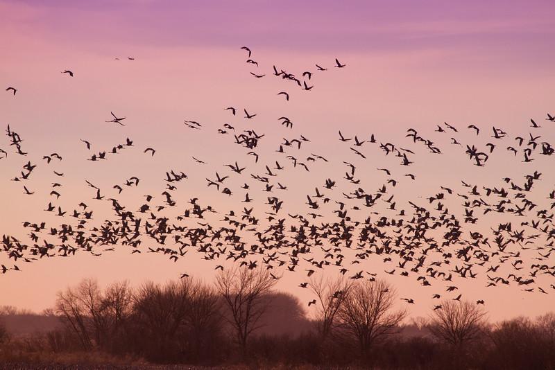 Nebraska cranes 1 (2013)