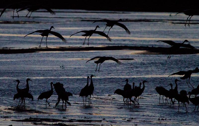 Nebraska cranes 19 (2013)