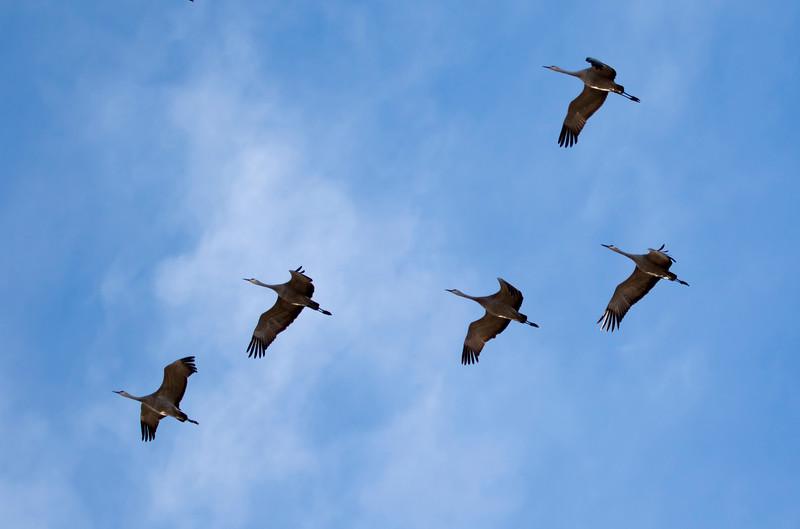 Nebraska cranes 20 (2015)