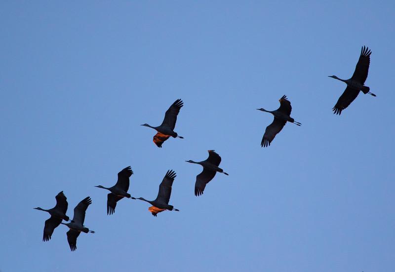 Nebraska cranes 18 (2015)