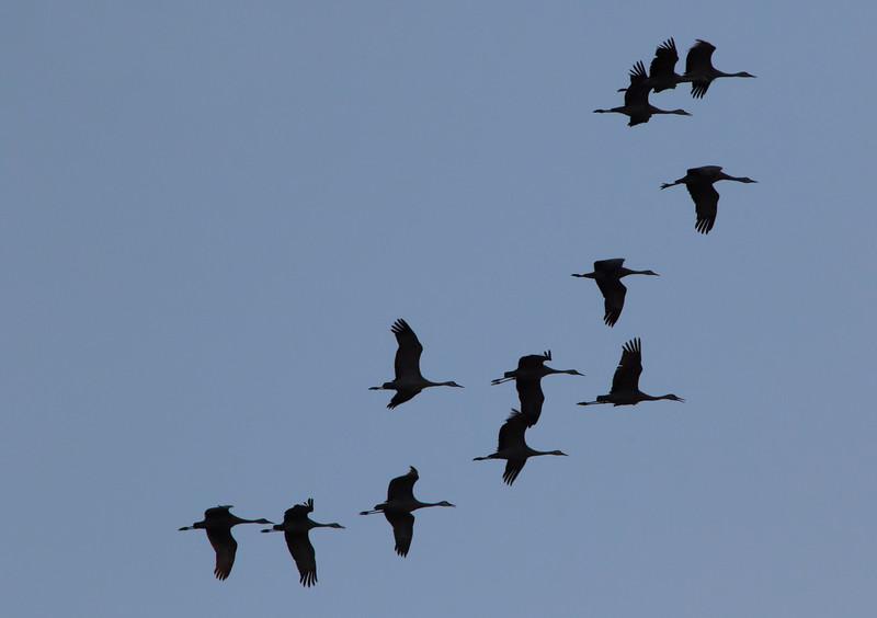 Nebraska cranes 9 (2015)