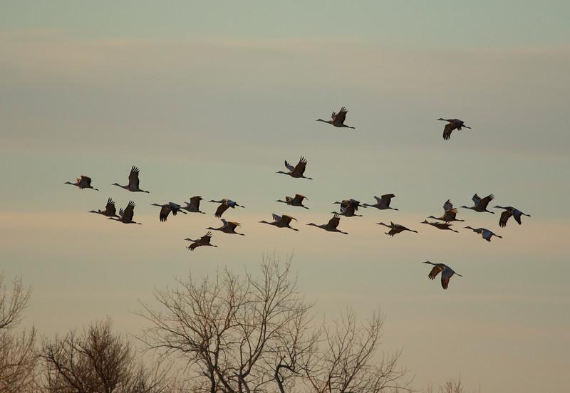 Nebraska cranes 3 (2015)