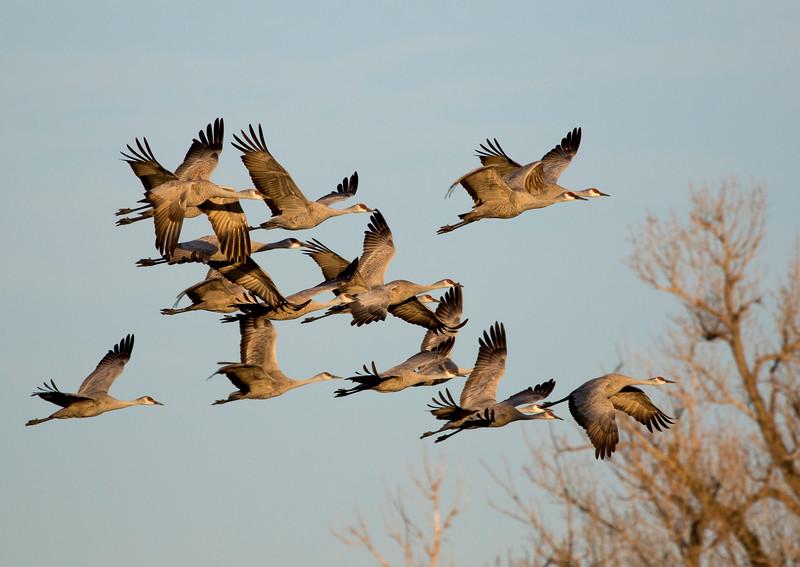Nebraska cranes 4 (2015)