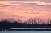 Nebraska cranes 5 (2015)