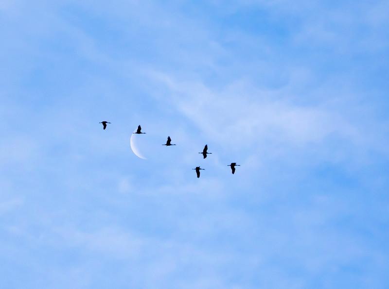 Nebraska cranes 19 (2015)
