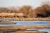 Nebraska cranes 13 (2015)