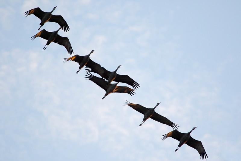 Nebraska cranes 1 (2015)