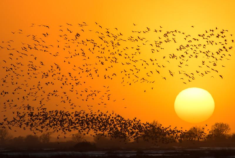 Nebraska cranes 2 (2015)