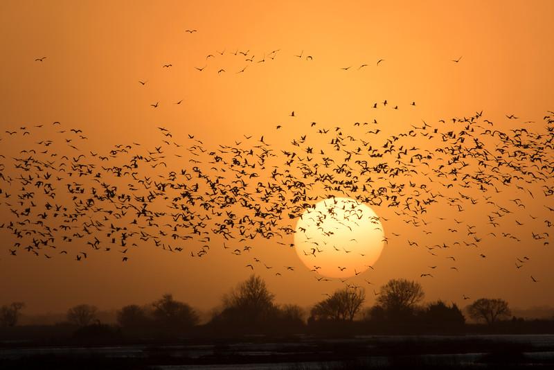 Nebraska cranes 10 (2015)