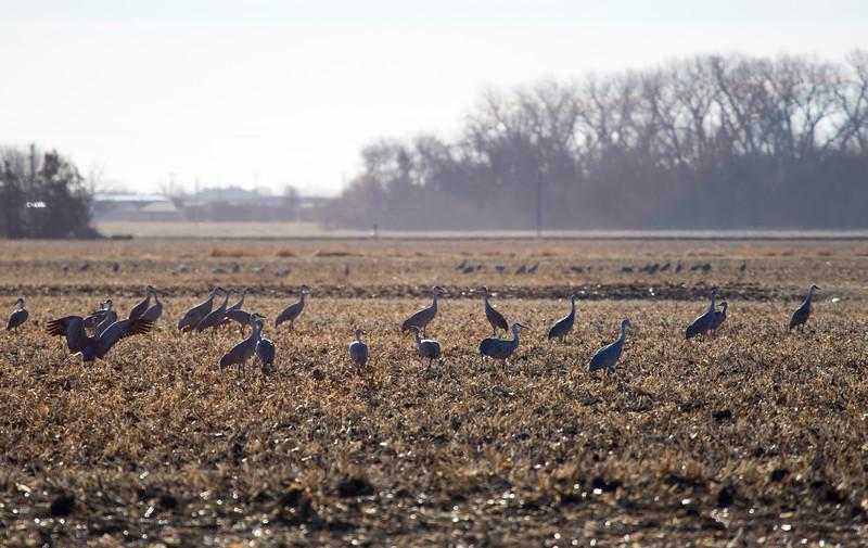 Nebraska cranes 23 (2015)