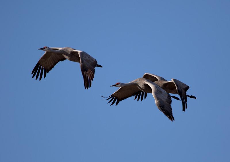 Nebraska cranes 7 (2015)
