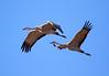 Nebraska cranes 22 (2015)