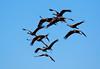 Nebraska cranes 21 (2015)