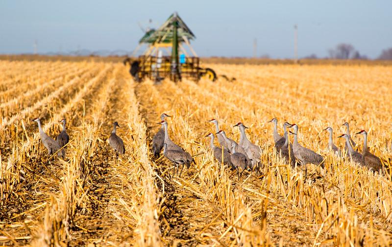 Nebraska cranes 24 (2015)