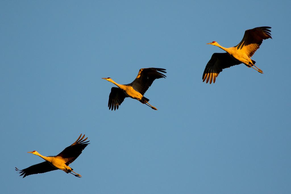 Crex cranes 27 (2015)