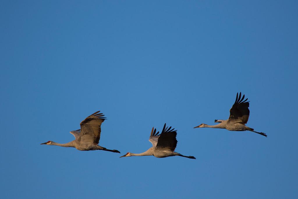 Crex cranes 23 (2015)
