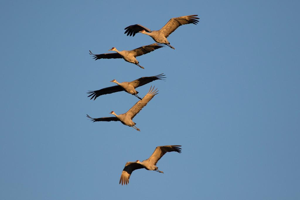 Crex cranes 34 (2015)