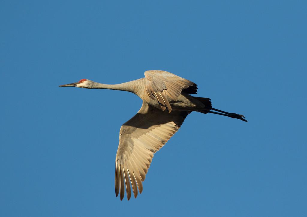 Crex cranes 26 (2015)