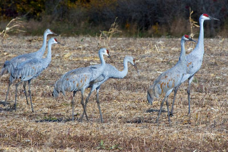 Crex cranes 38 (2015)