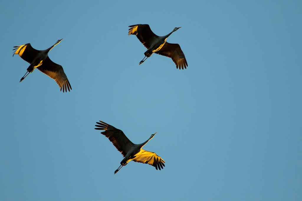 Crex cranes 33 (2015)